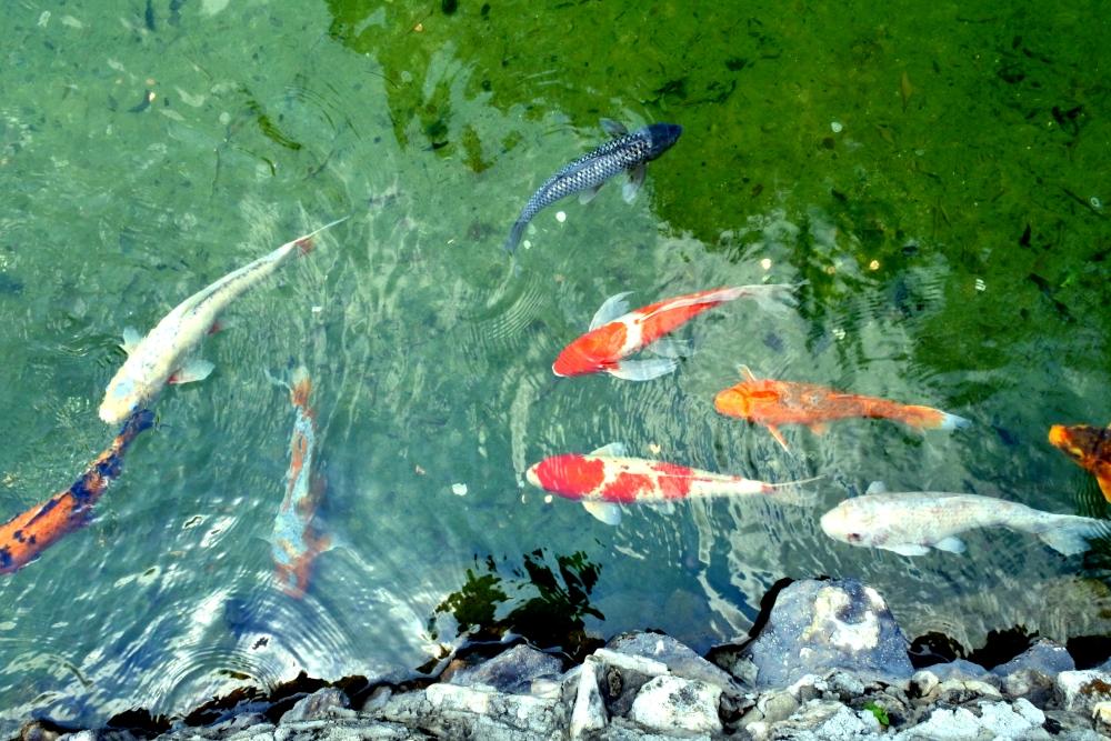 日本庭園の鯉